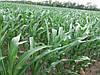 Семена кукурузы ВН 63, ФАО 280. Высокоурожайная кукуруза 110-130ц/га. Отличная влагоотдача, Оригинатор: ВНИС. Урожай 2018 года.