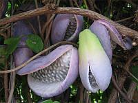 АКЕБИЯ - ШОКОЛАДНАЯ ЛОЗА (Akebia trifoliata), фото 1