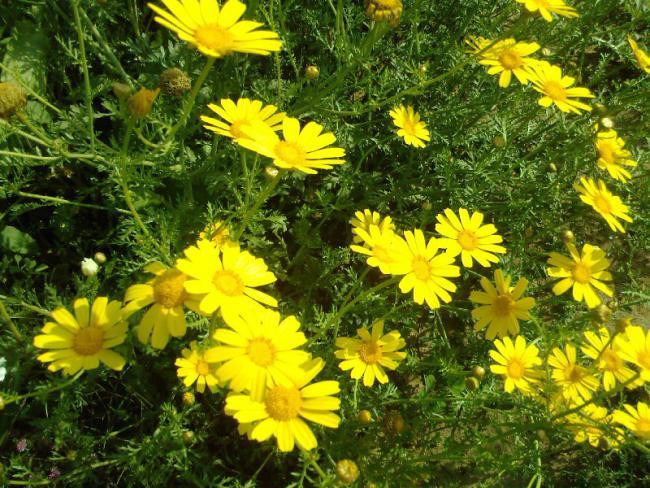 Жёлтая ромашка садовая
