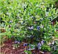 Семена Голубика, фото 2
