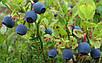 Семена Голубика, фото 3