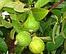 Семена Гуава белая, фото 2