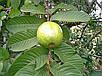 Семена Гуава красная, фото 2