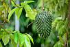 Семена Гуанабана или Аннона, фото 2