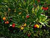 Земляничное Дерево семена, фото 4