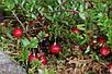Клюква Американская крупноплодная семена, фото 4