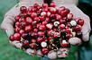 Клюква Американская крупноплодная семена, фото 5