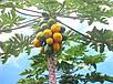 Папайя или Дынное дерево семена, фото 2