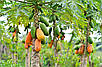 Папайя или Дынное дерево семена, фото 4