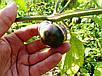 Семена Физалис пурпурный, фото 2