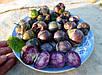 Семена Физалис пурпурный, фото 3