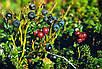 Семена Черника Миртолистная, фото 4