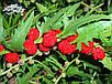 Семена Земляничный Шпинат, фото 2