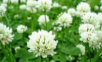 Семена клевера белого Grasslands Huia (Грасландс Хуа) 0,5кг Новая Зеландия