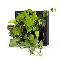 Фитомодули,  для офиса, дома, квартиры.Комнатные растения  на стене Greenwall