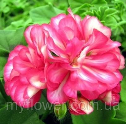 Пеларгония Ivy Arctic Rose
