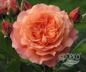 Саженцы Роза Belvedere (Бельведере) (лучшая цена купить оптом и в розницу)