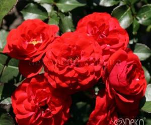 Саженцы Роза Cordula (Кордула) (лучшая цена купить оптом и в розницу)