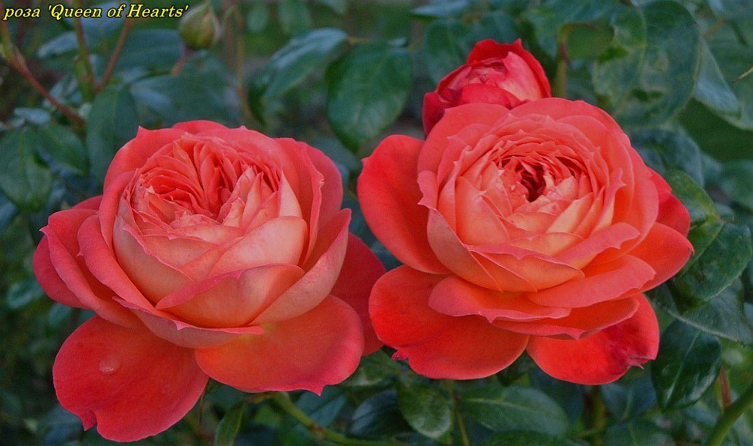 Роза Queen of Hearts (Куін оф Хартс)