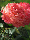 Роза Queen of Hearts (Куін оф Хартс), фото 2