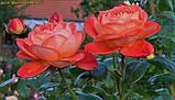 Роза Queen of Hearts (Куін оф Хартс), фото 3