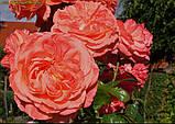 Роза Queen of Hearts (Куін оф Хартс), фото 4