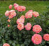 Роза Queen of Hearts (Куін оф Хартс), фото 5