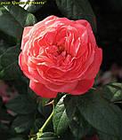 Роза Queen of Hearts (Куін оф Хартс), фото 6