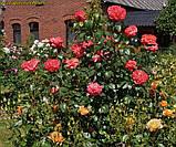 Роза Queen of Hearts (Куін оф Хартс), фото 7