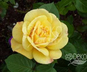 Саженцы Роза Avenue Yellow (Авеню Йеллоу) (лучшая цена купить оптом и в розницу)