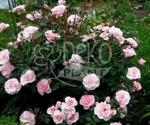Саженцы Роза Avenue Pink (Авеню Пинк) (лучшая цена купить оптом и в розницу)