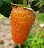 Товар недели: Малина ремонтантная Оранжевое Чудо