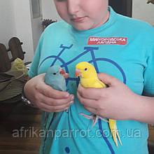 Ожереловый папуга (Колірний мутації)