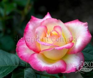 Саженцы Роза Hаendel (Хендель) (лучшая цена купить оптом и в розницу)
