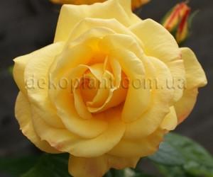 Саженцы Роза Konsuella (Консуэлла) (лучшая цена купить оптом и в розницу)