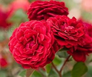Саженцы Роза Nahelglut (Нахеглут) (лучшая цена купить оптом и в розницу)