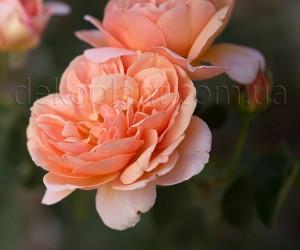 Саженцы Роза School Girl (Скул Герл) (лучшая цена купить оптом и в розницу)