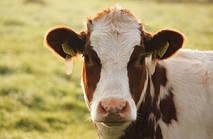 Який вибрати доїльний апарат для однієї корови?