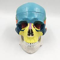 Дидактическая цветная модель черепа человека 1:1 скелет торс тренажер