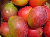 Манго привитое сорт «GOMERA 3» 100-120 см., фото 1