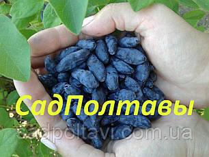 Саженцы жимолости Бакчарская юбилейная в конт 3л, фото 3
