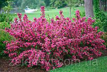 Вейгела рожева