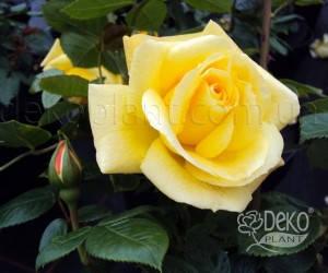 Саженцы Роза Arthur Bell (Артур Белл) (лучшая цена купить оптом и в розницу)