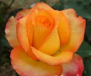 Саженцы Роза Sunmaid (Санмейд) (лучшая цена купить оптом и в розницу)