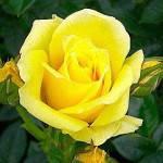 Саженцы Роза Dorola (Дорола) (лучшая цена купить оптом и в розницу)