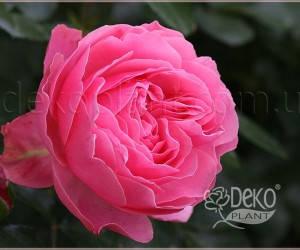 Саженцы Роза Leonardo da Vinci (Леонардо да Винчи) (лучшая цена купить оптом и в розницу)