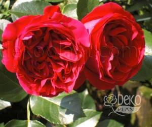 Саженцы Роза Red Eden Rose (Ред Эден Роуз) (лучшая цена купить оптом и в розницу)