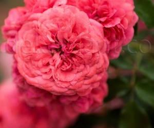 Саженцы Роза Rosarium Uetersen (Розариум Уэтерзейн) (лучшая цена купить оптом и в розницу)
