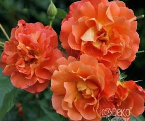 Саженцы Роза Westerland (Вестерленд) (лучшая цена купить оптом и в розницу)