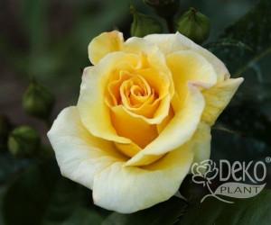 Саджанці Троянда Chinatown (Чайнатаун) (краща ціна купити оптом і в роздріб)